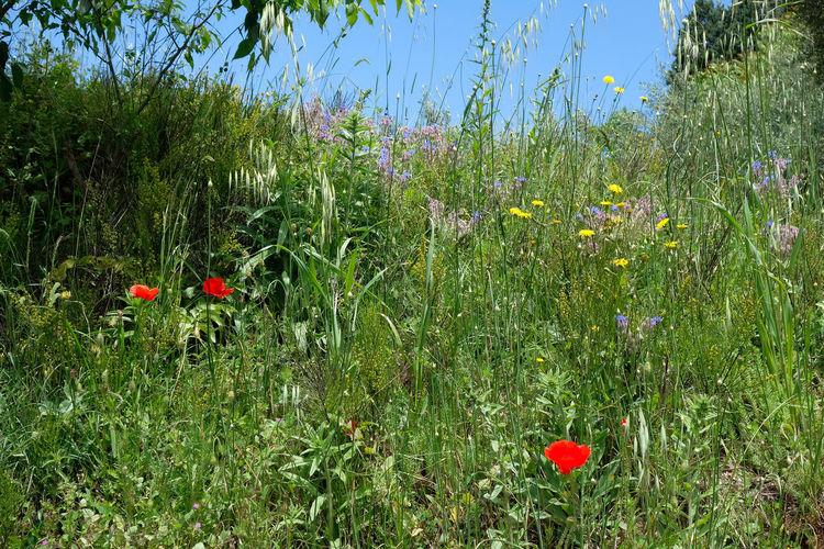 Red poppy flowers on field