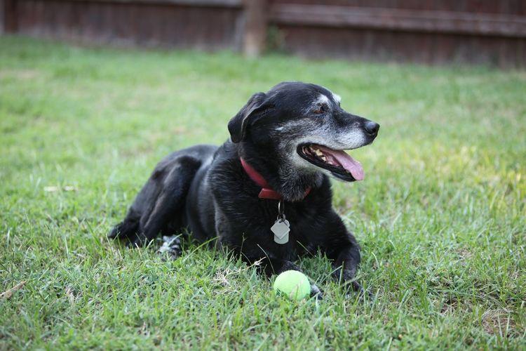 Dog Old Dog My Old Dog Black Labrador Summer Backyard Poolside