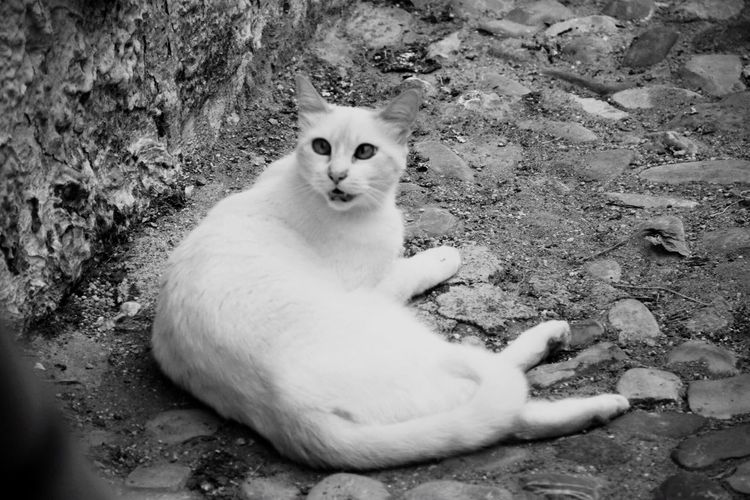 Domestic Cat Looking At Camera Animal Themes Nature Gyllepics