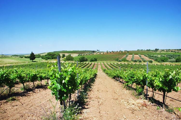 vineyard plantation, Alentejo, Portugal Agriculture Clear Sky Environment Landscape Nature Plantation Rural Scene Scenics - Nature Vineyard