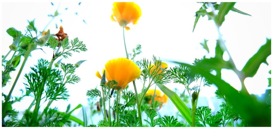 High Key Flower Yellow Plant Nature No People Beauty In Nature Green Color Growth Flower Head Fragility Freshness Close-up Holywood County Down Northern Ireland Just Flowers Poppy Paint The Town Yellow