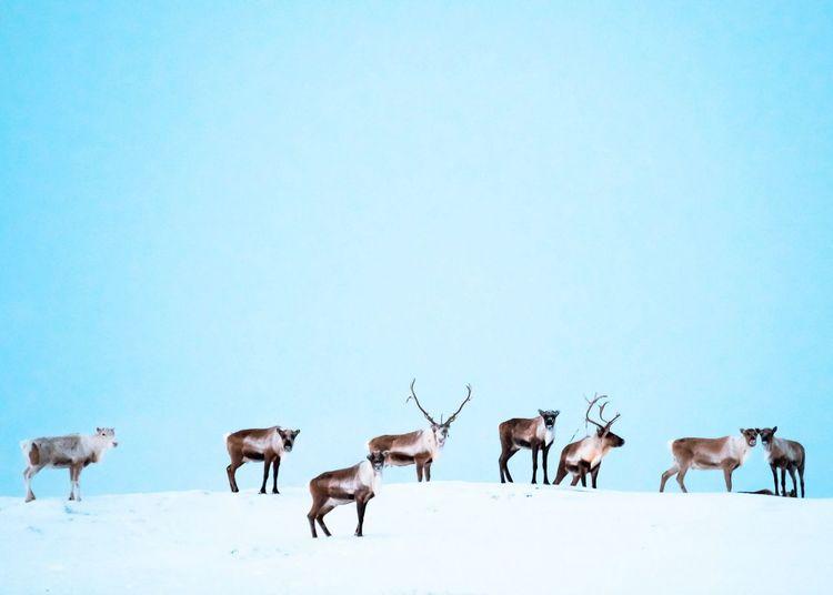 reindeer herd in winter Wintertime Winterscapes EyeEm Selects Fujifilm Snow Winter Cold Temperature Following Clear Sky Full Length Reindeer Rural Scene Group Of Animals Herd Medium Group Of Animals Deer Antler Hoofed Mammal Horned Moose Grazing Livestock Bull - Animal Domestic Cattle Cow Flock Of Sheep Horse Antelope Fawn Foal