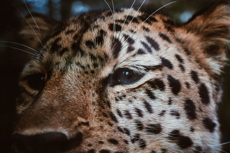 Leopard One