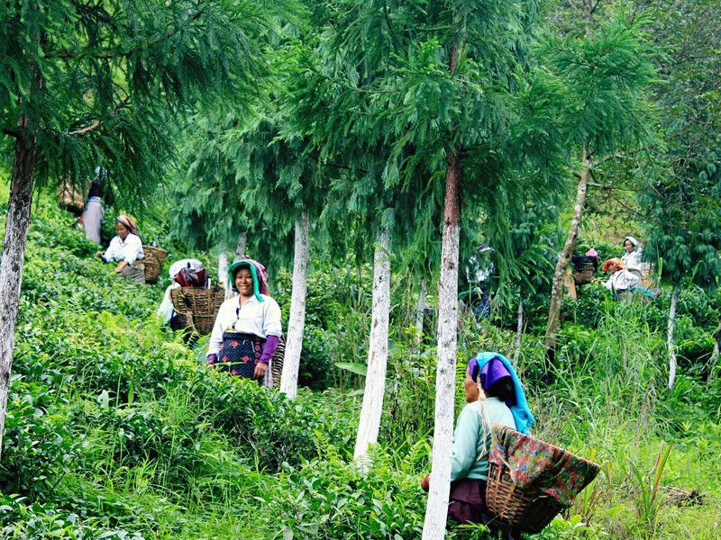 Enjoy The New Normal Tea Plantation  Darjeeling Women Beauty In Nature Smile