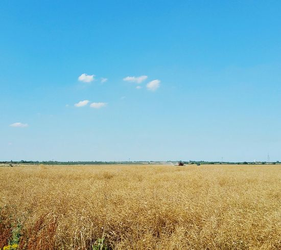 Oilseedrape crop harvest Cambridgeshire Blue Agriculture Sky Rural Scene Tranquility Nature No People Day Outdoors Growth Scenics Landscape Harvest Harvesting The Field Harvest Season Crops