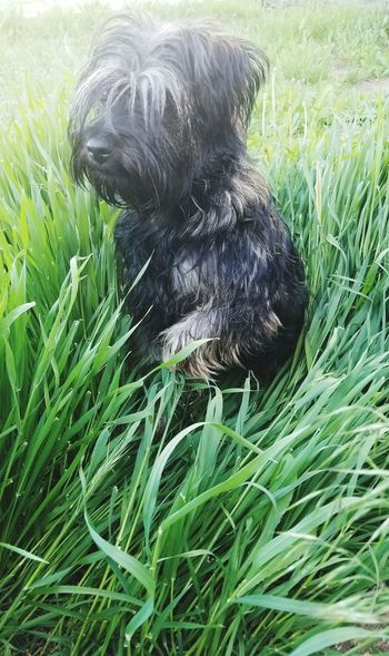 Grass Growth Green Color Domestic Animals Animal Themes One Animal Dog Puppies Dogs Animals Terrier Scotland Field Nature