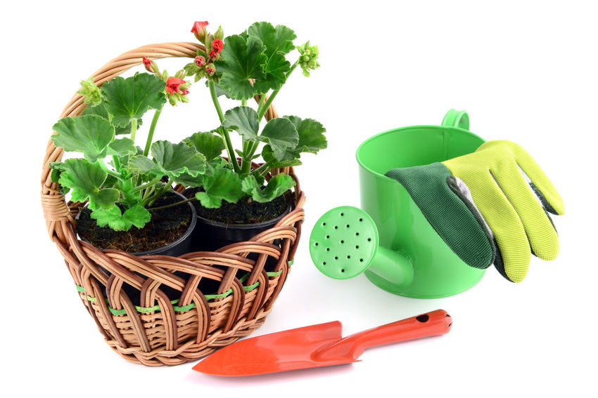 geranium flowerpots in basket with watercan and gloves. garden tools Watercan Red Flower Red Garden Tools Isolated White Background Gardening Isolated Flowerpot Basket Geranium Geranien Shovel
