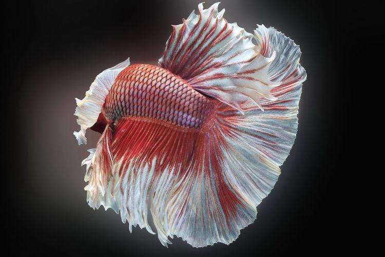 Siamese fighting fish,betta splendens,red fish on a black background, halfmoon betta,
