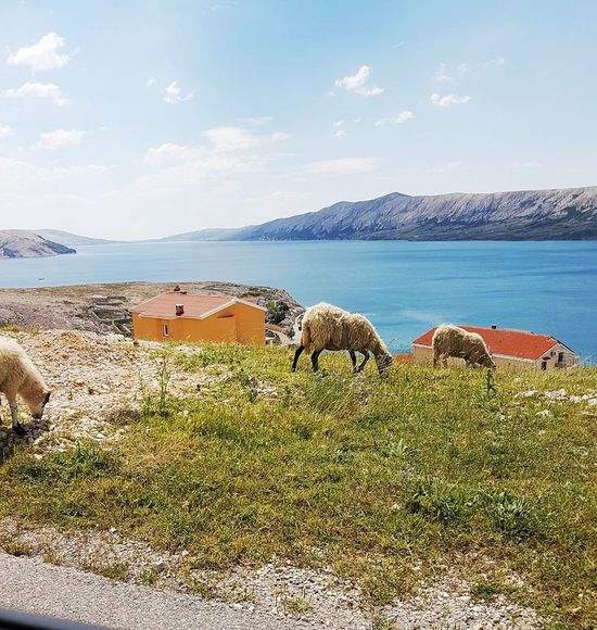 Animal Themes Outdoors Day No People Landscape Water Nature Beach Croatia Croatiafulloflife Sheep View Sky Sea Domestic Animals Animals In The Wild Mountain Mammal Pag Novalja Island Of Pag