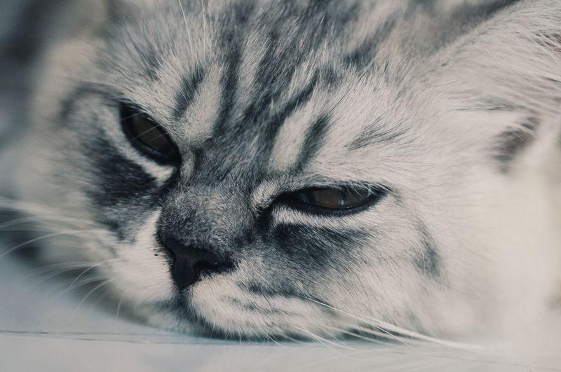 EyeEm Selects EyeEmBestPics Mood Cute Pets Cute Illustration Sleepy Pets Domestic Cat Portrait Close-up Animal Eye Animal Nose Persian Cat  Kitten Animal Face Animal Hair Cat Nose Yellow Eyes