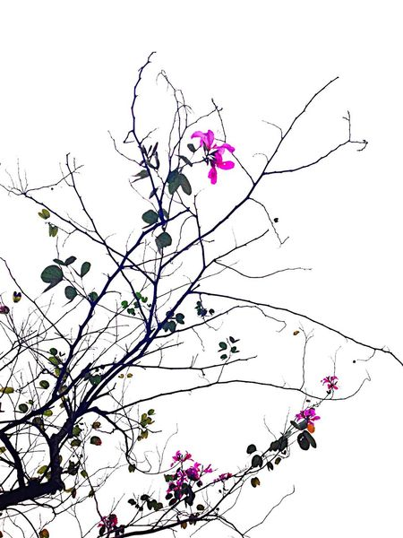 Bauhinia Flowers Flower Collection Tree_collection  Springtime Pink Flower Greenery Flowery Flowers,Plants & Garden Cloudy Day Cloudy Sky