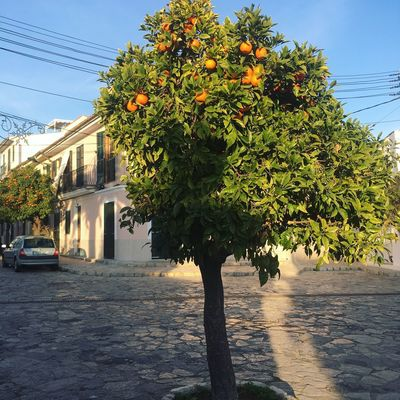 orange tree, jan 2018 Orangetree Light And Shadow Tree Architecture Growth Outdoors Nature No People Sky Clear Sky