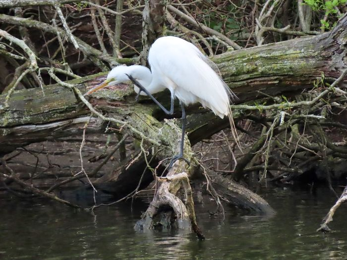 Snowy egret birds of EyeEm perched on a bare wooden tree branch over water scratching animal themes EyeEm nature lover outdoors Bird Animal Wildlife One Animal No People