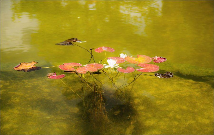Nature Water Nenuphar