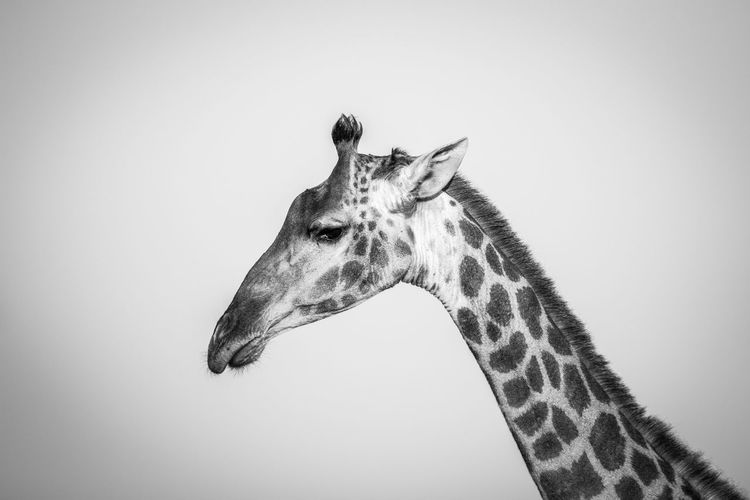 Low Angle View Of Giraffe Against Clear Sky