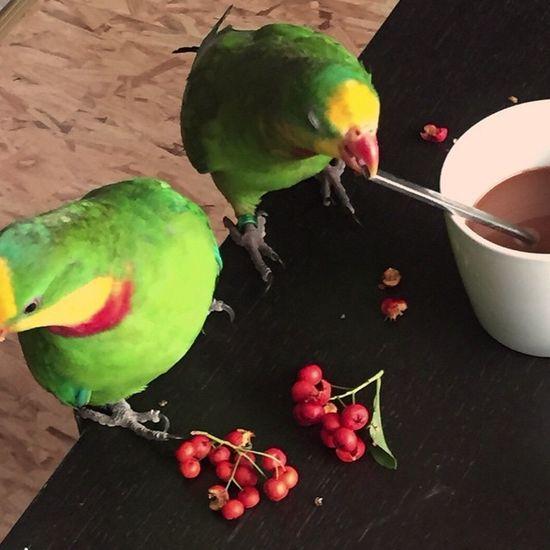 Oktober meine 2 piepmatzen. Schildsittich Superb_parrots Parrot Parrotlife Parrotlove Parrotmylove Lovebirds Lomoblog Tumblr