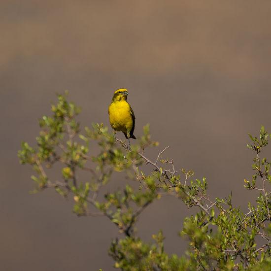 A cape canary