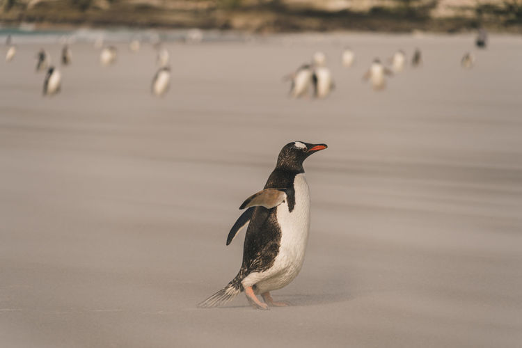 Penguin perching on a beach