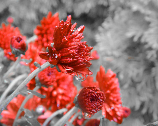 Beauty In Nature Close-up Flower Flower Head Freshness Growth Nature No People Plant Red Redandblack Waterdrop