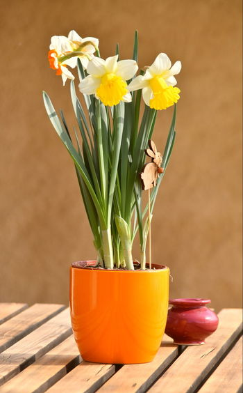 Close-Up Of Daffodils In Vase