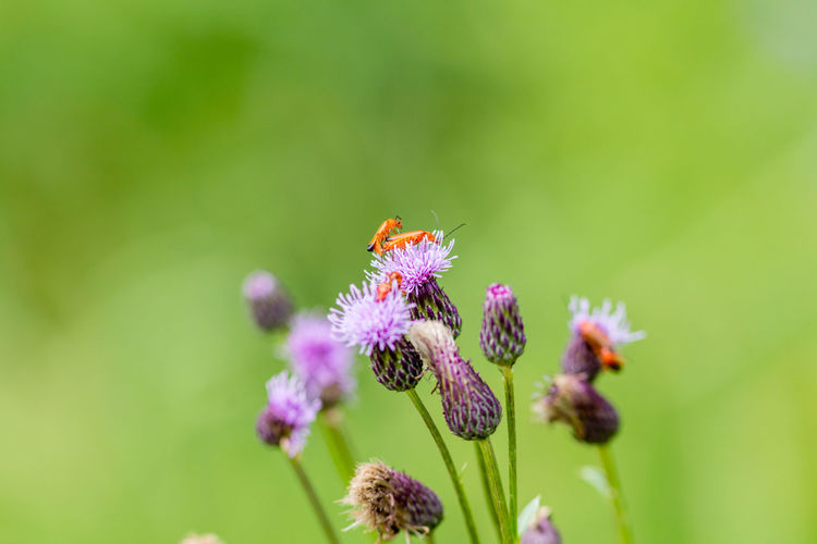 Insects On Purple Flower