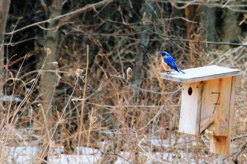 eastern bluebird Birds Bird Photography Bluebird Springtime Spring Bird Perching Winter Cold Temperature Snow Birdhouse Wildlife