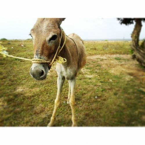 @shootersfalcon Shootersfalcon Shootdeldia Vivelafotografia Burro Tiraya bored burro donkey instanaturelover instaphoto countryliving venezuela like
