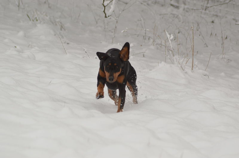 Doberman  EyeEm Selects Snow Cold Temperature Dog Animal Winter Pets Domestic Animals Outdoors No People Mammal Animal Themes