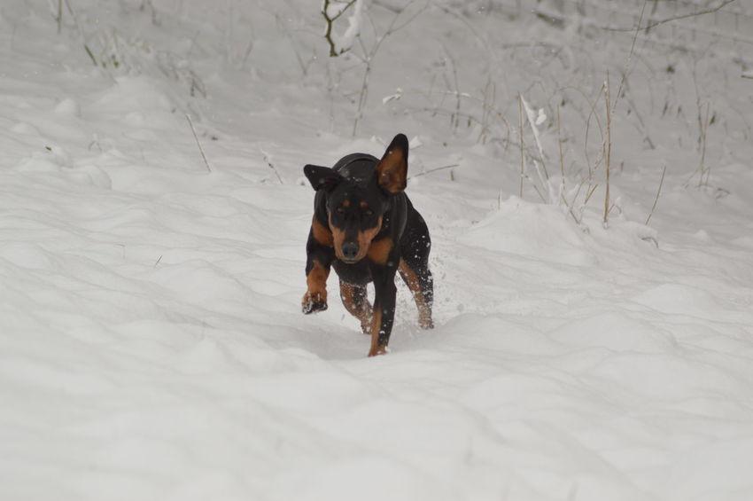 Doberman  EyeEm Selects Snow Cold Temperature Dog Animal Winter Pets Domestic Animals Outdoors No People Mammal Animal Themes