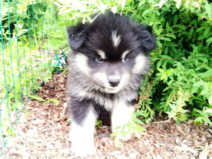 Finnish Lapphund, puppy Puppy Dog Qute Animals Innocent