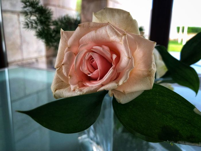 Pink rose. Flower Plant Rosé Close-up Rose - Flower Flower Flowering Plant Beauty In Nature First Eyeem Photo