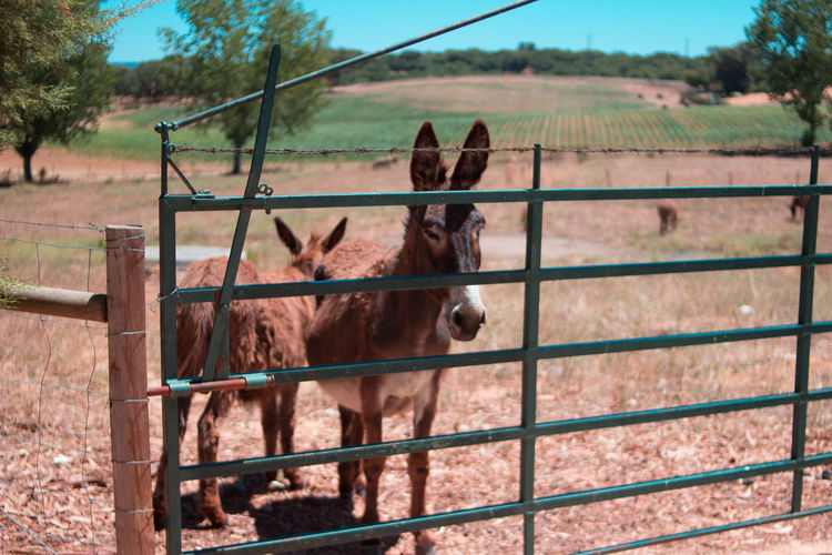 Animal Themes Day Donkey Donkeys Field Field Fileds Horse Livestock Metal Nature No People Outdoors Paddock Sky Tree