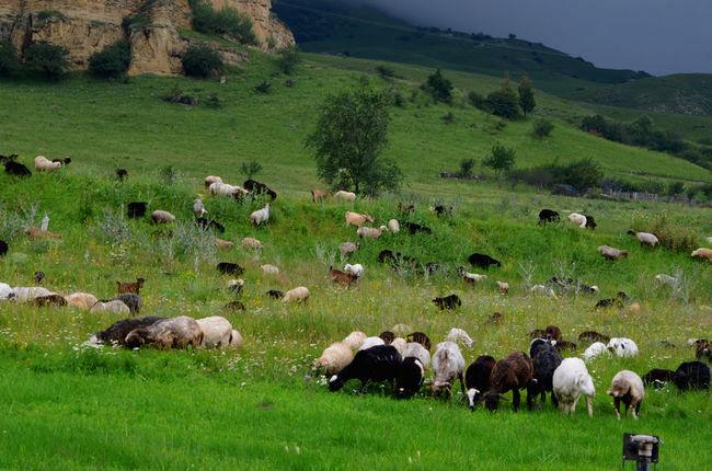 Sheep Field Green Color Sheep@Work Sheep Mountain Animal Nature туман горыкавказа Kavkaz горы Russia