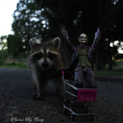 Wooooohahahaha! Rocketraccoon Joker Luckywiththeanimals Animallover Wildlifephotography Raccoon Raccoons Wildlifepark Photooftheday Instadaily Instanature Natureshots Natureseeker Natureonly Natures_hub Natures_cuties Animallover Animal_captures Wildlife_perfection Dccomics Marvelcomics Ata_pickedbypaul Tz_ata_freeforall