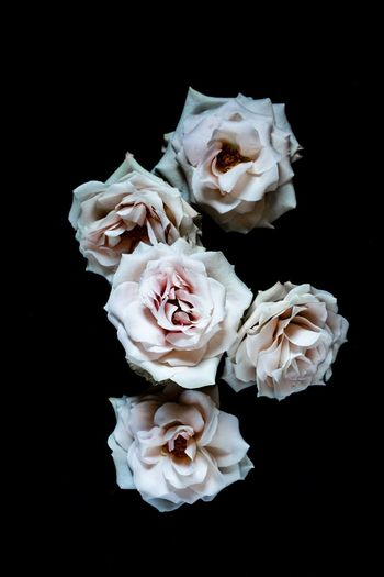 Roses Flat Lay Black Background Close-up No People Studio Shot Indoors  Inflorescence Petal Flower Flower Head Rosé Still Life Fragility Plant Freshness Beauty In Nature