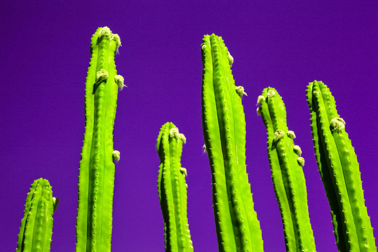 Close-up of succulent plants against purple background
