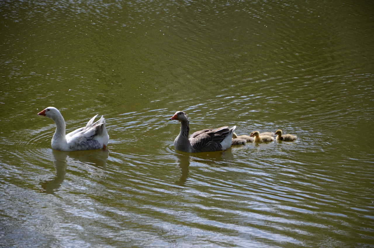 animals in the wild, animal themes, bird, lake, water, waterfront, animal wildlife, swimming, no people, nature, togetherness, goose, water bird, day, outdoors, beauty in nature