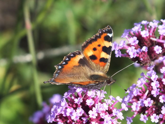 Small tortoiseshell butterfly on buddleia in garden Beauty In Nature Blooming Butterfly Butterfly - Insect Close-up Day Flower Focus On Foreground Fragility Freshness Growth Insect Nature No People Outdoors Petal Pink Color Plant Pollination Selective Focus Small Tortoiseshell Wildlife
