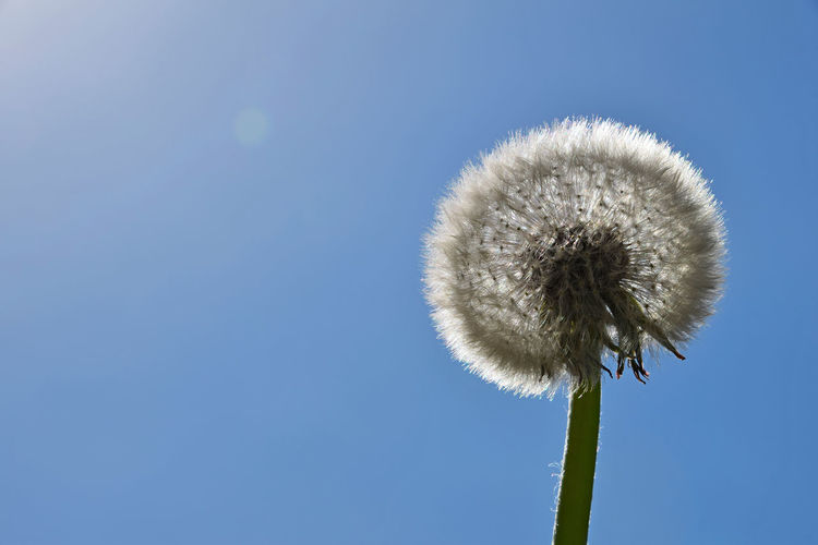 Low angle view of dandelion growing against blue sky