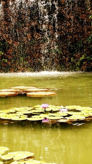 Lily Pads Psychology Therapy Meditation Asian Gardens Lilypads Lily Pad Park Lily Pond Lily Pad Waterfall Pond Pond Life Ponds
