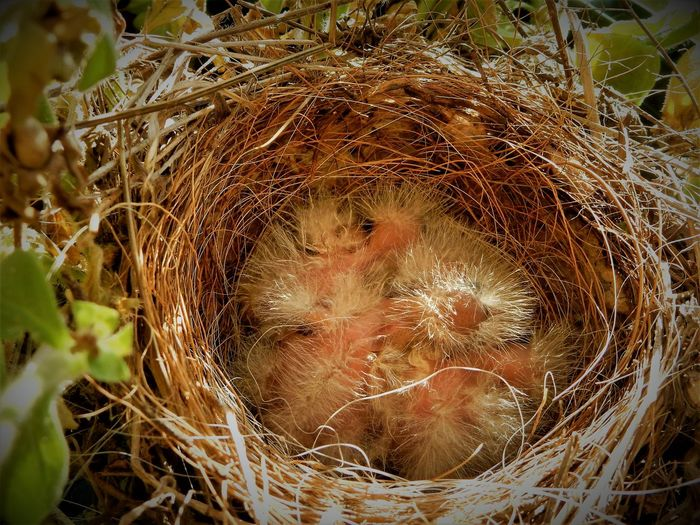House Finch nestlings Baby Birds Baby Birds In Nest Beauty In Nature Beginnings Bird Nest Close-up Fragility Freshness Growth Hatchling Hatchlings House Finch Nature Nest Outdoors Wildlife