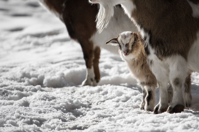 Goats standing on snow covered field