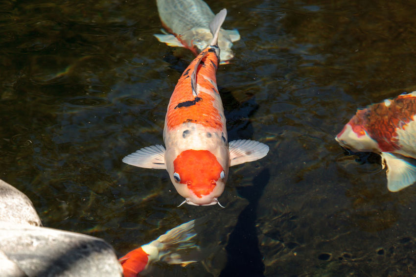 Koi fish, Cyprinus carpio haematopterus, eating in a koi pond in Japan Animal Themes Animals In The Wild Carp Close-up Cyprinus Carpio Cyprinus Carpio Haematopterus Day Expensive Koi Fish Gosanke Kohaku Koi Fish Large Koi Nature No People Prize Koi Swimming Water