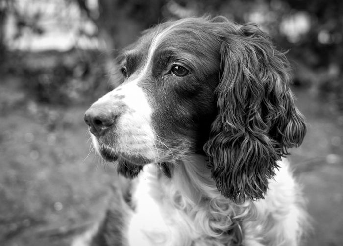 Daisy Dogs Gundogs Pets Black & White Springer Spaniels