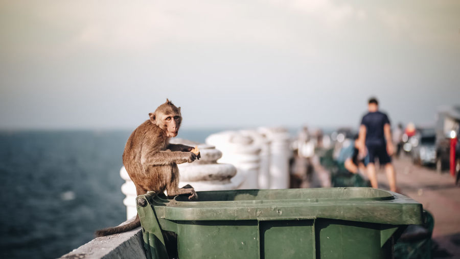 Portrait of monkey sitting on garbage bin at beach