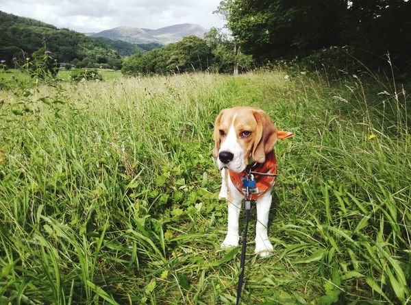 EyeEm Selects Dog Pets Grass One Animal Green Color Day Outdoors Domestic Animals Looking At Camera Animal Themes North Wales Beaglepuppy Travel Destinations Beaglelife Beagleoftheday Puppy Beaglelovers Animal Beauty In Nature