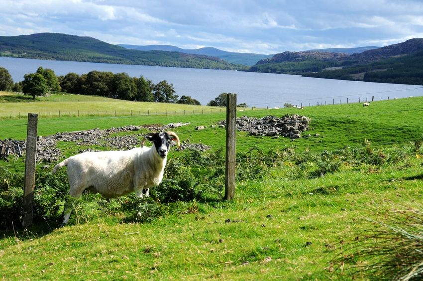 Loch Ness 🐍 Grass Landscape Scotland Loch Ness Mountain Nature Mountain Range Green Color Beauty In Nature Outdoors Animal Themes Sky Day Lake Landscape_photography Scotlandsbeauty Pasture