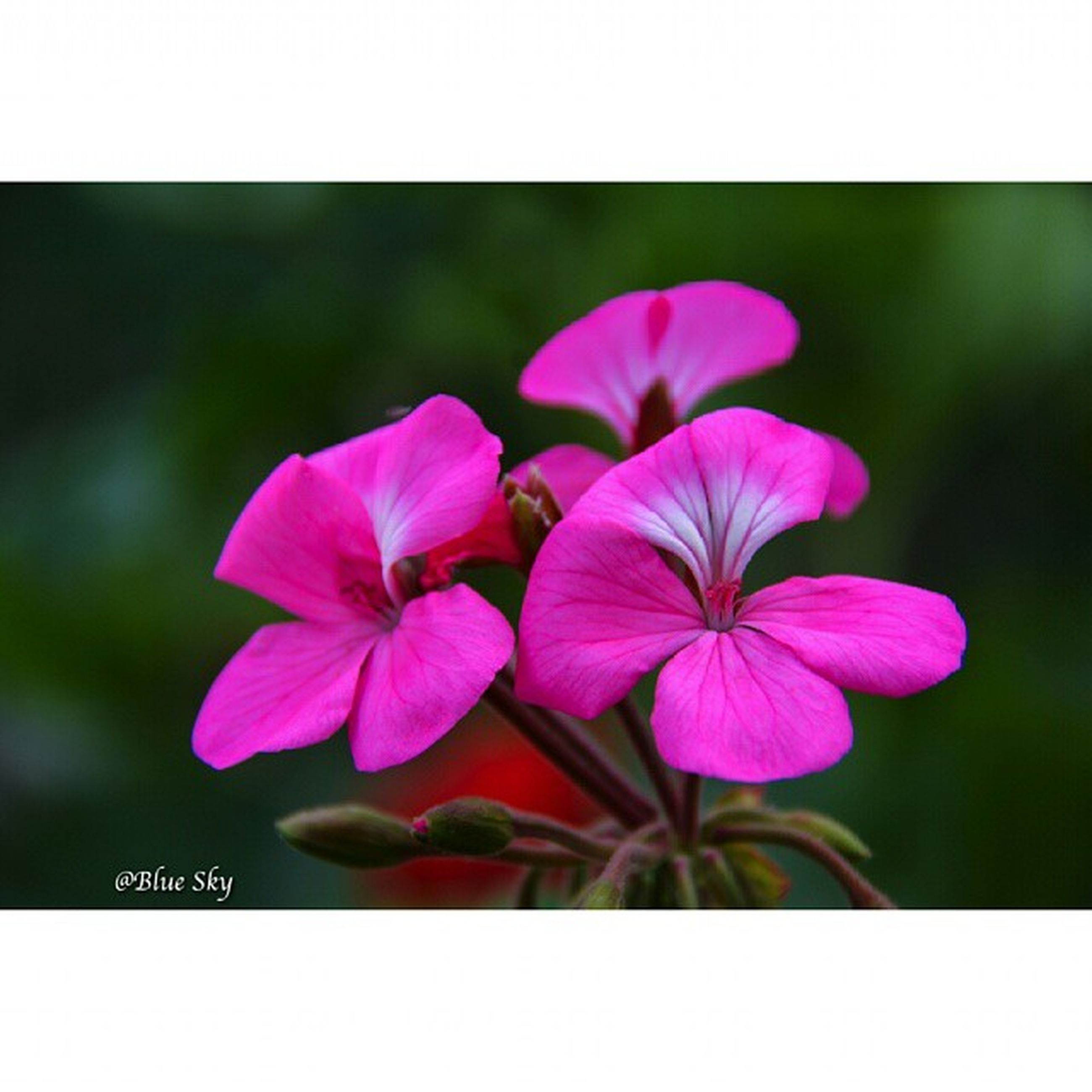 flower, freshness, petal, fragility, transfer print, flower head, growth, focus on foreground, beauty in nature, close-up, auto post production filter, nature, blooming, pink color, purple, plant, blossom, stem, stamen, in bloom