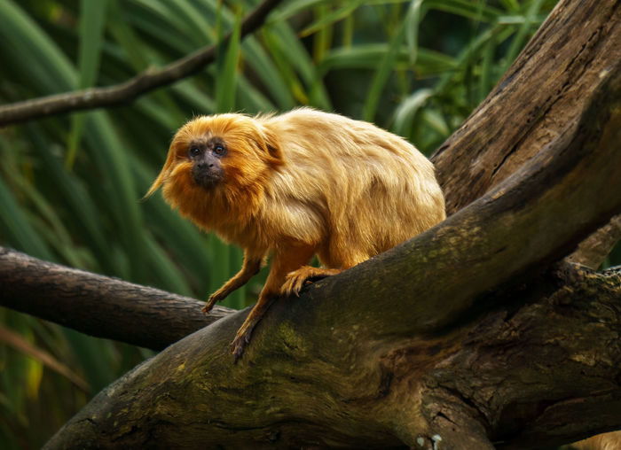 Auckland Zoo. Auckland, New Zealand. Animal Animal Hair Animal Head  Animal Themes Auckland Brown Close-up Day Focus On Foreground Golden Lion Tamarin Mammal Monkey Nature New Zealand No People Outdoors Selective Focus Tree Tree Trunk Wood - Material Zoo