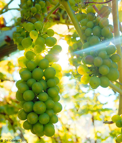 Grape Nature Green Color Food And Drink Healthy Eating Fruit Growth Food Plant Freshness Vineyard Day No People Wellbeing Beauty In Nature Bunch Close-up Tree Vine Agriculture Outdoors Winemaking Plantation Grapevine Grapes 🍇